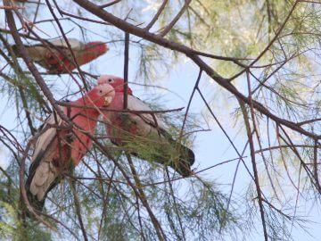 где и как купить здорового попугая, какие анализы надо делать перед покупкой попугая, что надо знать?