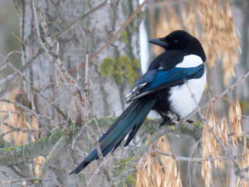 кормление врановых птиц, кормление и рацион сорок