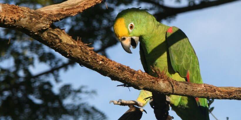 попугай амазон желтолобый суринамский содержание, кормение, купить, лечение, болезнии, агрессия