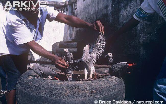 птенцы выкормыши попугаев жако, серый африканский попугай, краснохвостый и бурохвостые жако