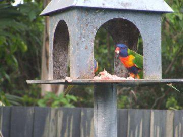 едят ли в природе попугаи мясо, исследовение радужных лорикетов в природе