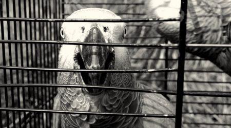 попугай жако самоощипывание с началом отопительного сезона, весна, осень, зима. Низкая влажность. Как лечить.