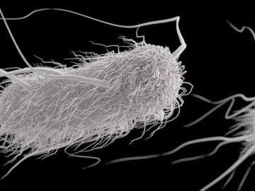 e.coli, кишечная палочка, эшерихия птиц, колибациллез, колибактериоз попугаев, домашней и экзотической птицы, ткачиков, канареек, хищных птиц, сов, анализы, симптомы, лечение, заболевание, профилактика, карантин