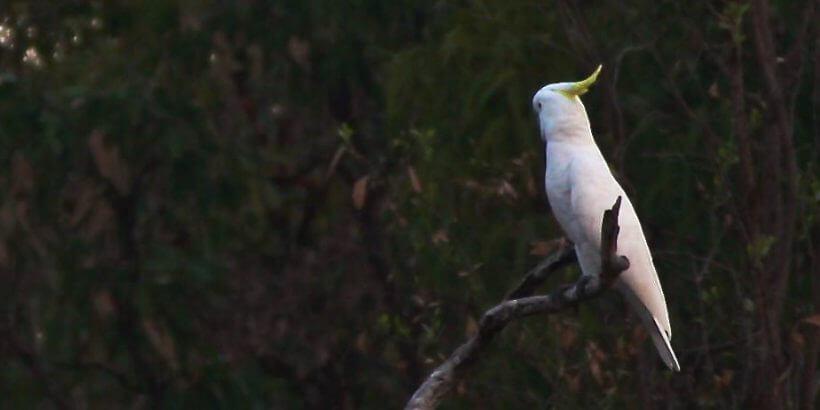 что надо знать перед покупкой попугая какаду, сложности, крики, укусы, приставучесть,