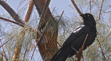 чем кормить врановых птиц, ворон, воронов, сорок, галок, грачей,