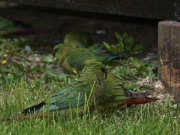 питание попугаев в природе, пищевое поведение попугаев