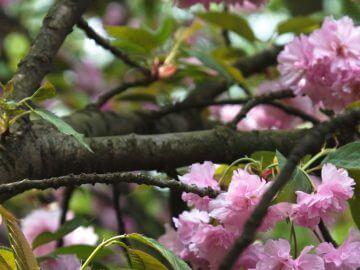 ветки каких цветущих деревьев можно давать как корм попугаям