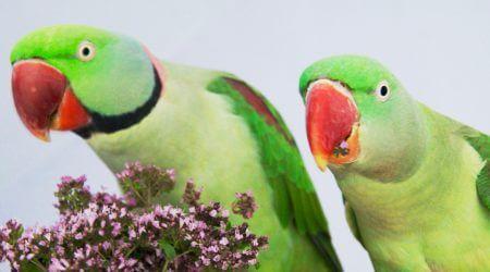 профилактика болезней и лечения попугаев, александрийские попугаи самец и самка, кормление, содержание, приручение