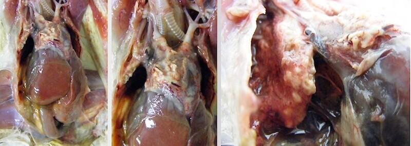 Pseudomonas aeruginosa у совы сипухи, пневмония, гепатит, воспаление легких, аэросаккулит, воспаление воздушных мешков, перикардит.
