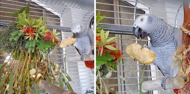 косточка манго для попугая жако