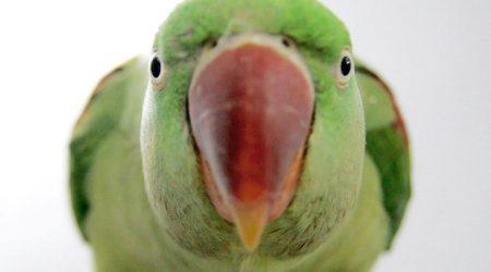 что делать если попугай стал агрессивным, какаду, жако, амазон, ара, александрийский - кидаются на хозяина,кусаются