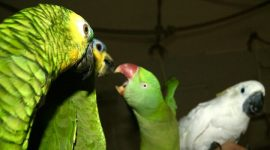 попугаи дерутся что делать?
