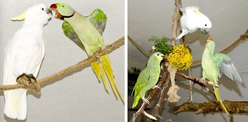 александрийский попугай, венесуэльский амазон, какаду, совместное содержание,