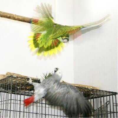попугай жако и амазон дерутся