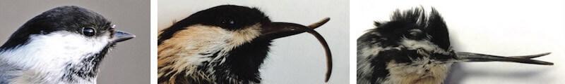 искривление клюва у гаечек Аляски. AKD Avian Keratin Disorder. Поецивирус.