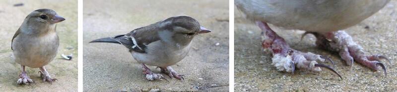 папилломатоз забликов, разрастанния на лапах у диких птиц