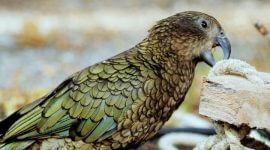 попугаи кеа и новокаледонские вороны запоминают нужные инструменты