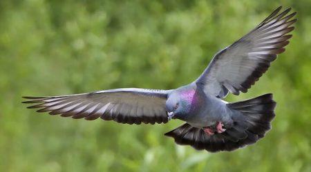 способности голубей, статья об исследованиях разумности голубей и их способности переключаться между задачами