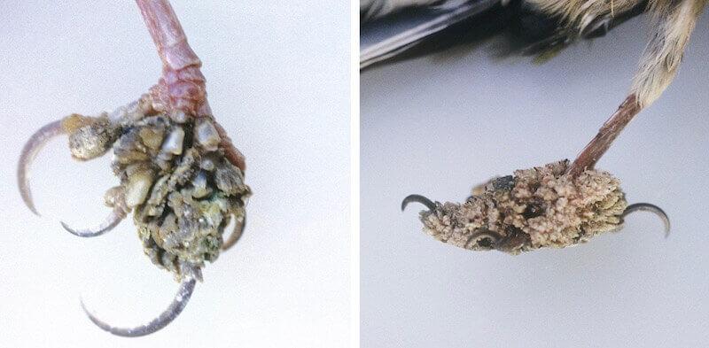 Папилломы на лапах зяблика (Fringilla coelebs)