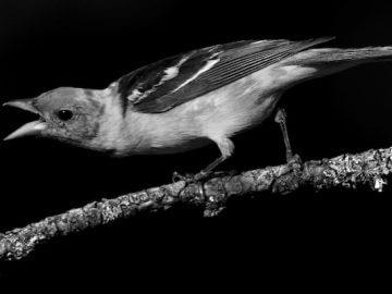 вирусные инфекционные болезни певчих птиц