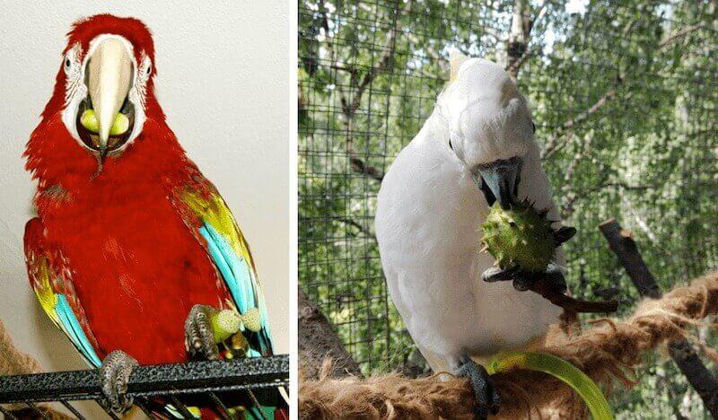 желуди и каштаны для кормления попугаев ара и какаду
