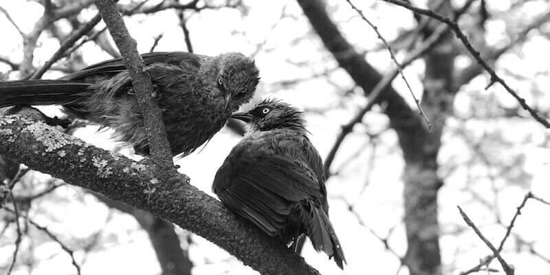 бактериальные болезни воробьиных птиц. Признаки, симптомы, лечение.