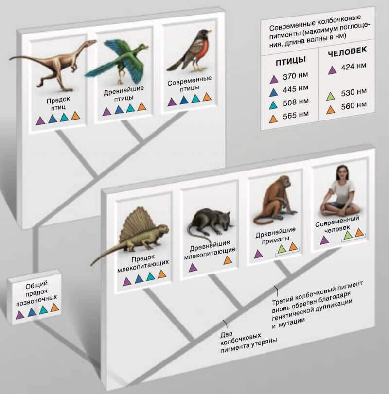 эволюция зрительных пигментов птиц и приматов