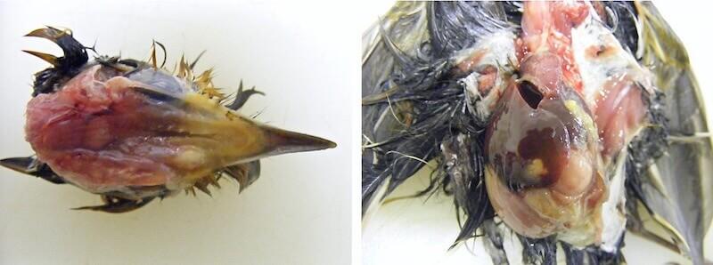 орнитоз у диких птиц, признаки, паткартина.