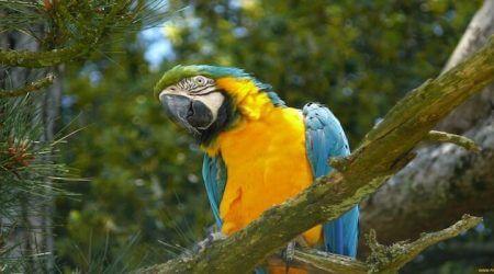 попугаи ара, как выглядят, видео попугаев ар в природе