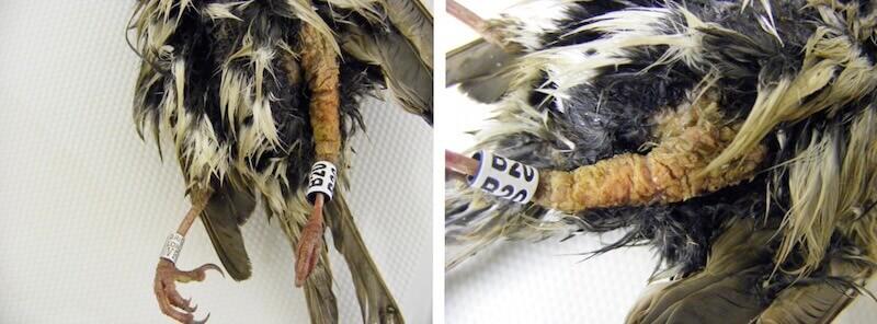 стафилококкоз птиц у домового воробья. Золотистый стафилококк. Дерматит.