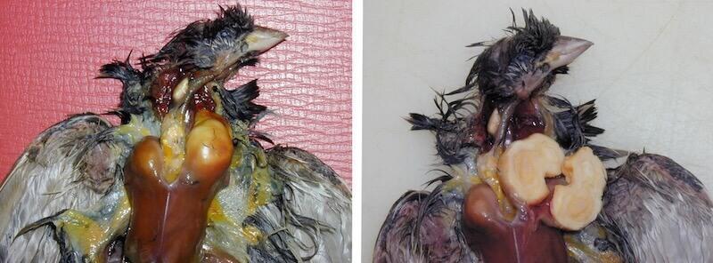 сальмонеллез птиц, воробей домовой.