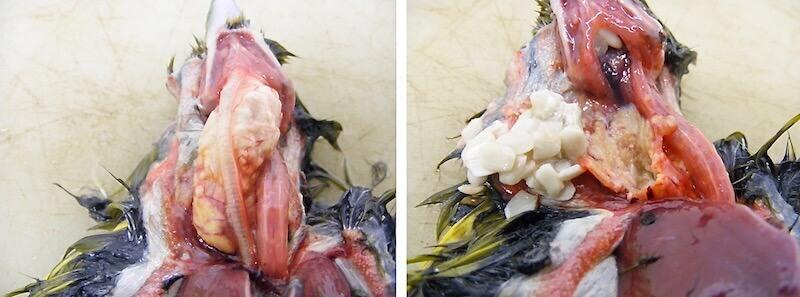 Сальмонеллез птиц. Обыкновенная зеленушка. Воспаление зоба