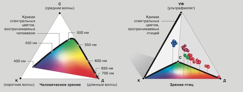 спектр восприятия птиц, зрение птиц и человека, диаграмма