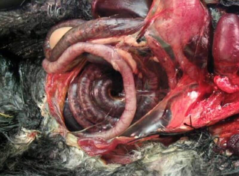 Геморрагическое воспаление кишечника вороны. Реовирус. Инфекция.