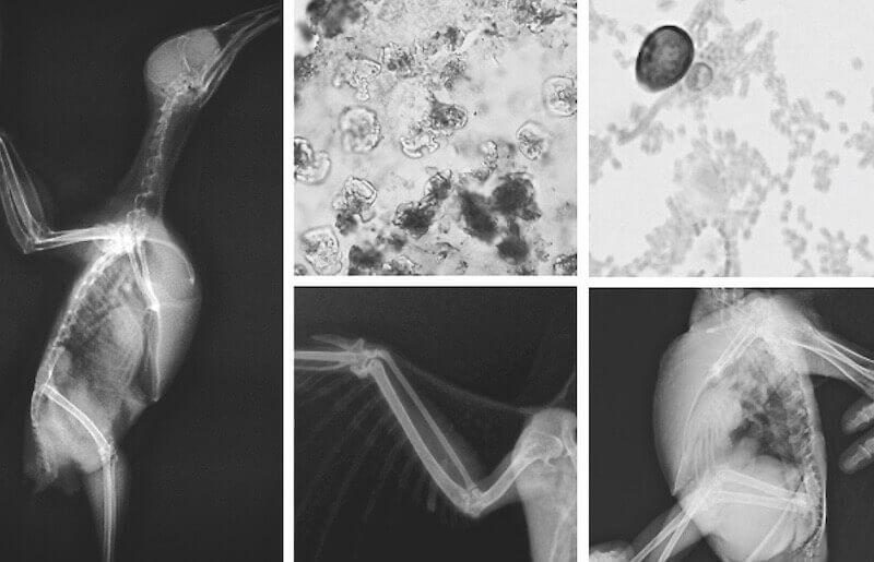 Лечение птиц, анализы, рентген, обследование.