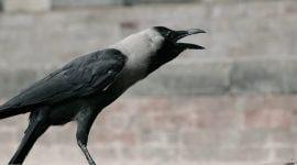 реовирусная инфекция врановых птиц (галок, сорок,воронов, ворон).