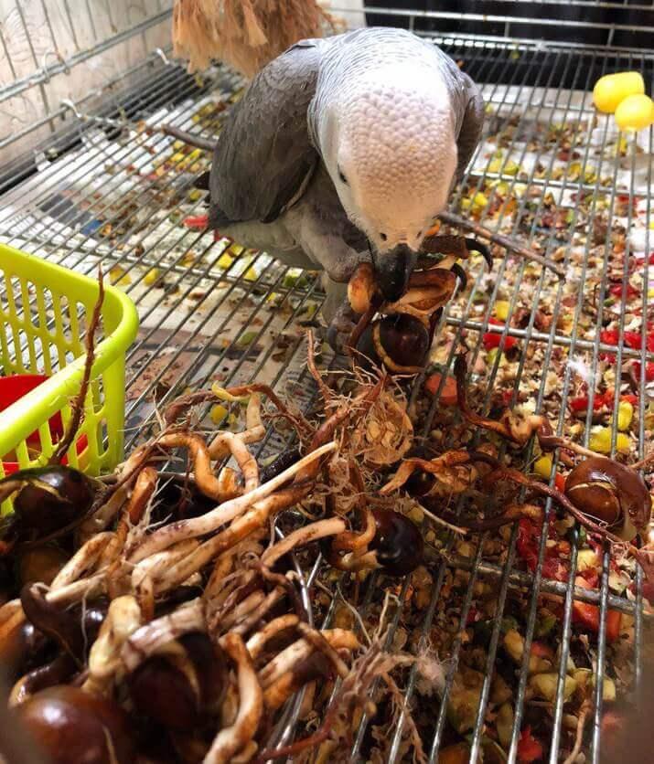попугай жако ест пророщенные каштаны