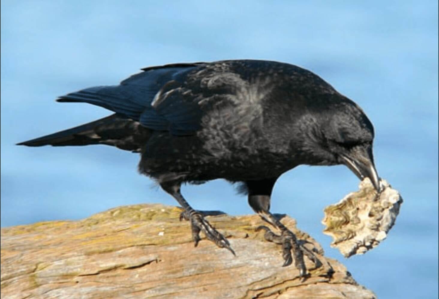кормление врановых птиц - морепродукты