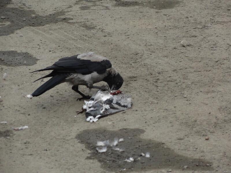 чем кормить ворону - мясо птицы, циплята, перепела.