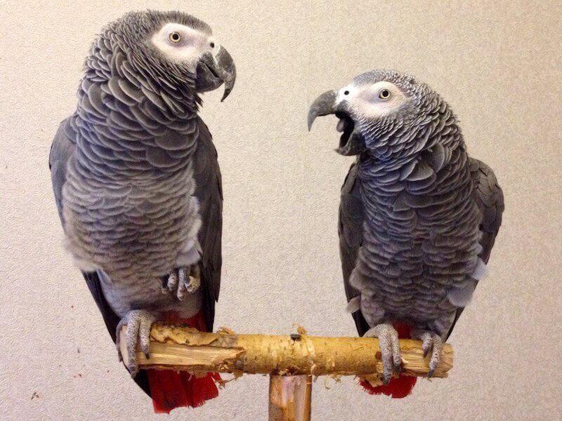 пара африканских краснохвостых попугаев