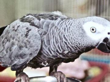 жако попугай, серый африканский краснохвостый, половое поведение