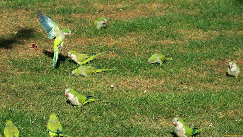 попугаи монахи калита (Myiopsitta monachus)
