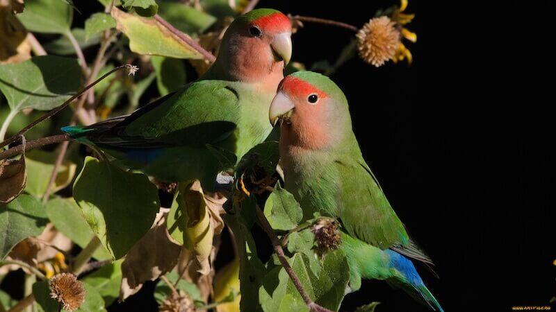попугаи неразлучники в природе