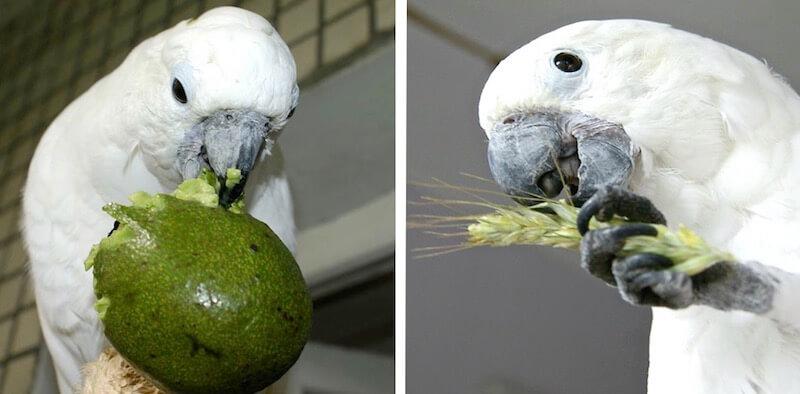 авокадо для попугая какаду