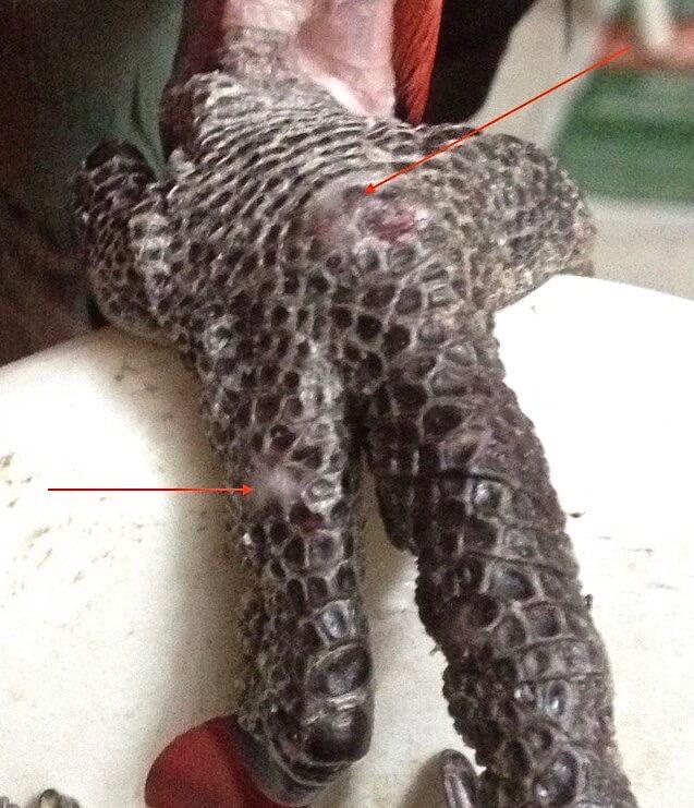 болезни лап попугая ара