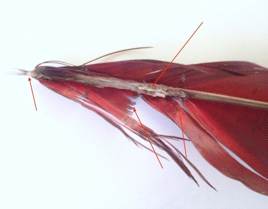 больное перо попугая ара