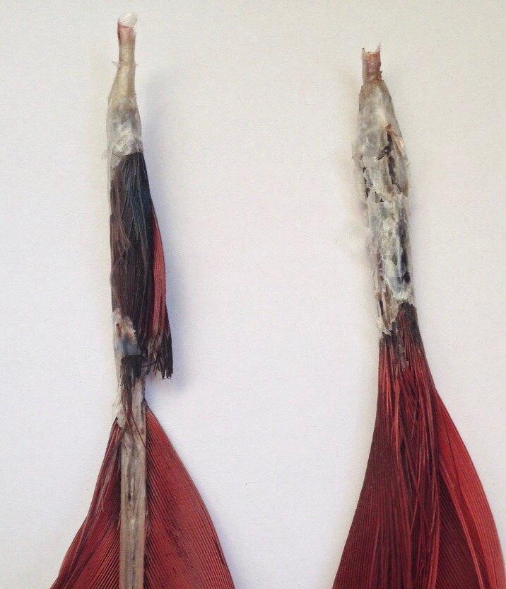деформированное перо попугая ара