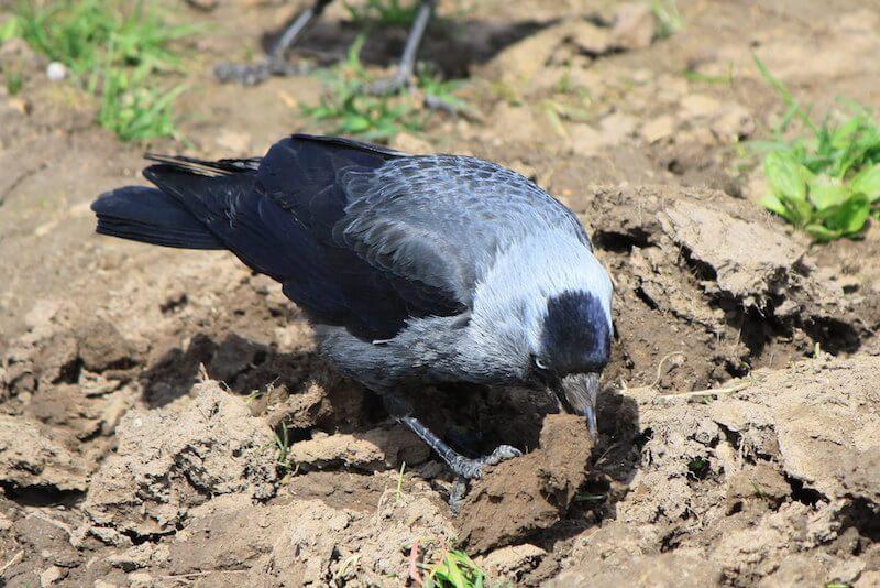 глина для врановых птиц и попугаев