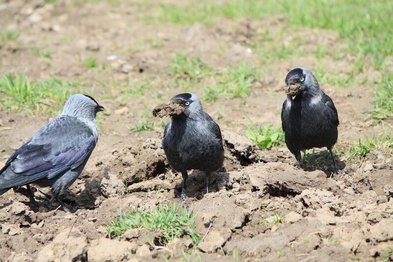 глина в рационах врановых птиц