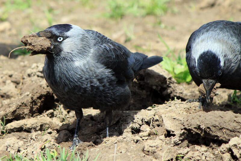 как давать глину врановым птицам и попугаям